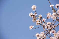 Almond flower trees at spring Royalty Free Stock Image