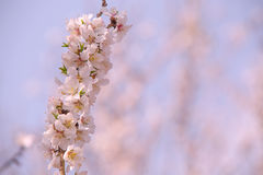 Almond flower trees at spring Royalty Free Stock Images