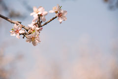 Almond flower trees at spring Royalty Free Stock Photography