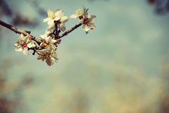Almond flower trees at spring Royalty Free Stock Photo