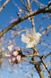 Almond flower Stock Image