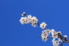 Almond flowers Stock Photography