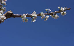 Almond flowers Royalty Free Stock Photos