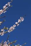 Almond flowers Stock Image