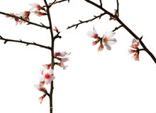 Almond flowers on black twigs Royalty Free Stock Images