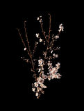 Almond flowers on black twigs Stock Images