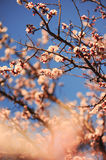 Almond flowers. Almond blooming close up, selective focus Royalty Free Stock Photo