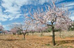 Almond flowers Stock Photos