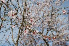 Almond flowers Stock Images