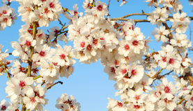 Almond flowers. Blossoming almond flowers in springtime Stock Images