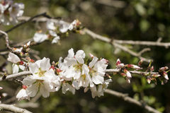 Almond flowers. Gems and almond flowers just bloomed Royalty Free Stock Image
