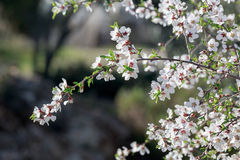 Almond  flowers on his branch on blurred background Stock Image