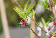Almond Flowers After Petal Drop Stock Images