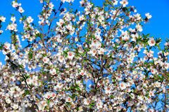 Almond flowers on sky background Stock Image