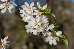 Almond flowers Royalty Free Stock Images