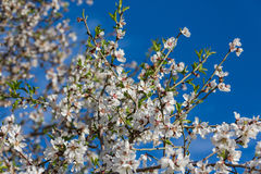 Almond flowers royalty free stock photo