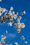 Almond flowers royalty free stock image