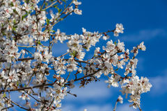 Almond flowers. Spring in Spain Royalty Free Stock Photography
