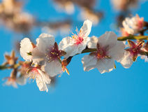 Almond flowers on a twig. Royalty Free Stock Image