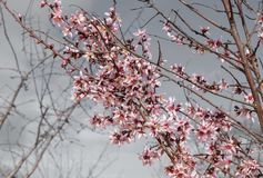 Almond flowers under a gray day. Reddish and pink almond blossoms close up stock images