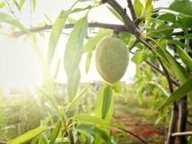Almond fruit on tree. An almond tree with one fruit on a branch. It is sunset Stock Photography