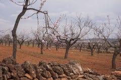 Almond Garden in Blossom Royalty Free Stock Photos