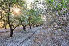 Almond garden in fading sun beams Stock Photos
