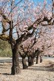Almond grove Royalty Free Stock Photo