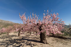 Almond grove Royalty Free Stock Photography