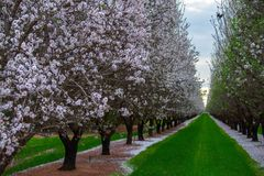 Almond Grove Stock Photos