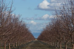 Almond grove water irrigation Royalty Free Stock Image
