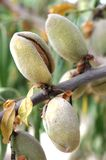 Almond hulls opening on tree Royalty Free Stock Photo