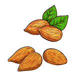 Almond isolated vector icon Royalty Free Stock Photos