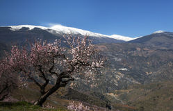 Almond Mountains Royalty Free Stock Images