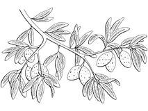 Free Almond Nut Graphic Black White Isolated Branch Sketch Illustration Vector Royalty Free Stock Images - 115521869