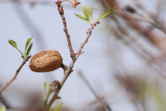 Almond nut growing on almond tree Stock Images