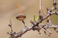 Almond nut growing on almond tree Royalty Free Stock Photos