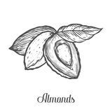 Almond nut seed vector. Isolated on white background. Almond milk food ingredient. Engraved hand drawn almond illustration in retr. O vintage style. Organic Food Stock Photography