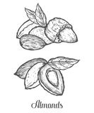 Almond nut seed vector.  on white background. Almond milk food ingredient. Engraved hand drawn almond illustration in retr. O vintage style. Organic Food Royalty Free Stock Photography
