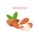 Almond nut vector illustration of a handful  peeled nuts and in shell  on white background it can be used as Royalty Free Stock Photo
