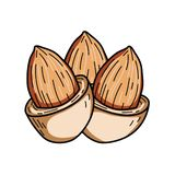 Almond nut vector illustration