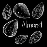 Almond nut by white chalk on black background. Almond nut clean and in shell hand-drawn illustration vector illustration