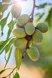 Almond nuts on a branch Stock Photography