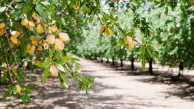 Almond Nuts Tree Farm Agriculture Food Production Orchard California. Healthy raw nuts still growing in the farmer's orchard royalty free stock image