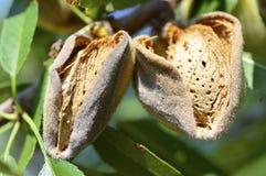 Free Almond  On  Tree. Royalty Free Stock Photo - 75868445