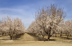 Almond Orchard Royalty Free Stock Image