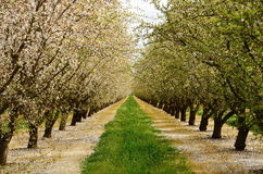Almond Orchard. In the Central California agricultural area Stock Images