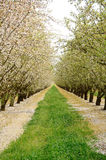Almond Orchard Royalty Free Stock Photos