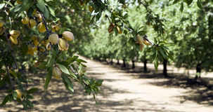 California Nuts Almond Orchard Summer Sunshine Royalty Free Stock Images
