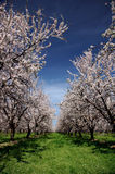 Almond Orchard In Bloom. Under Springtime Skies Royalty Free Stock Photography